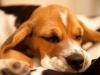 Beagle schläft