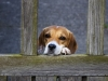 Beagle at the Gate