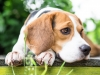 Beagle dog in garden