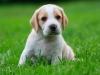 junger Beaglewelpe