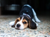 Puppy beagle is so cute