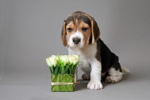 beagle-flowers