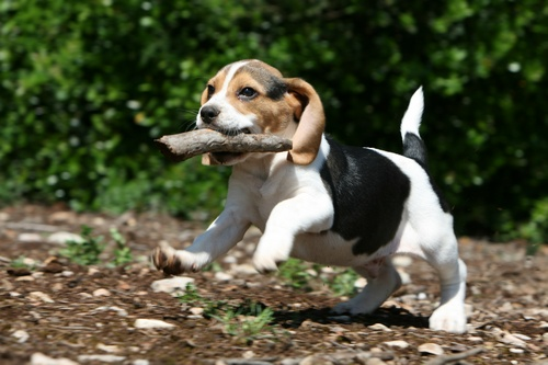 chiot-beagle-joue-baton
