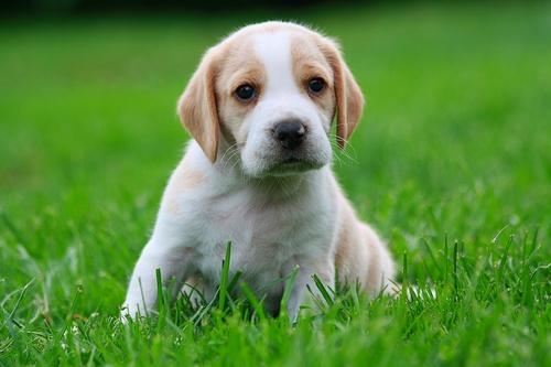 puppy-lemon-beagle