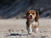 beagle-chiot-neige-langue