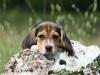 beagle-chiot-rocher