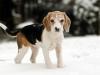 beagle-snow