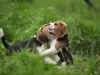 beagles-chamailleries