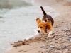 beagles-oreilles-volantes