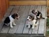 beagles-terrasse