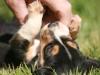 bebe-beagle