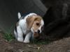 chiot-beagle-renifle