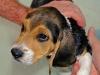 lavage-chiot-beagle