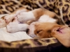 puppy-beagle-sleeping
