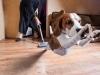 beagle volant