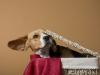 beagle en boîte