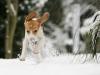 beagle dans la neige