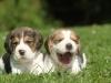 deux chiots beagle craquants