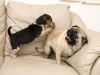 Beagle Attacking a Pug
