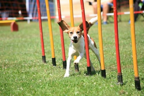 Beagle macht Slalom