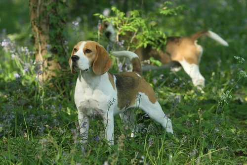 beautiful beagle outside