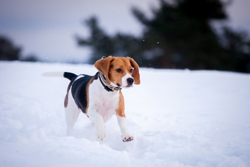 Beagle dog in winter