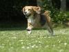 beagle au galop