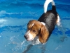 beagle in pool