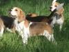 beagles en meute