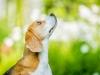 Beagle Hündin im Sonnenlicht