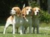 trois chiens de race beagle ensemble
