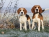 two beautifil beagles