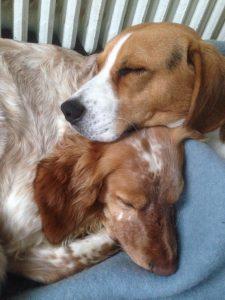 beagle et épagneul