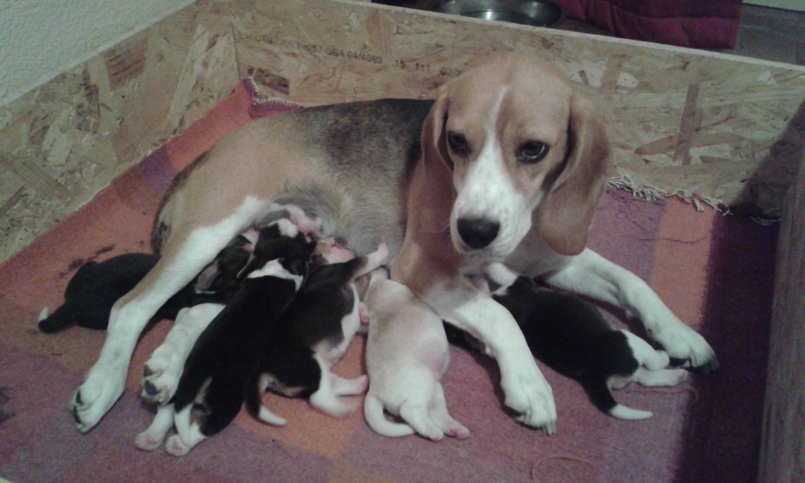 chiots beagle mâles
