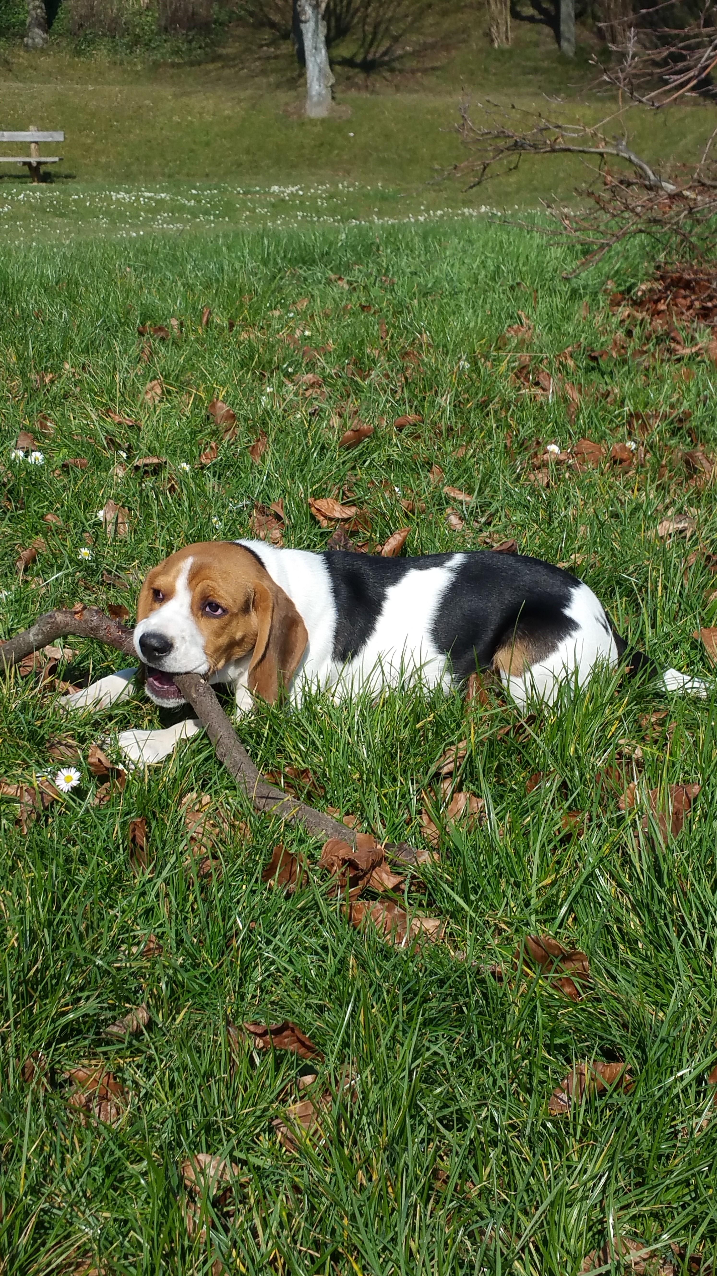 beagle Reims