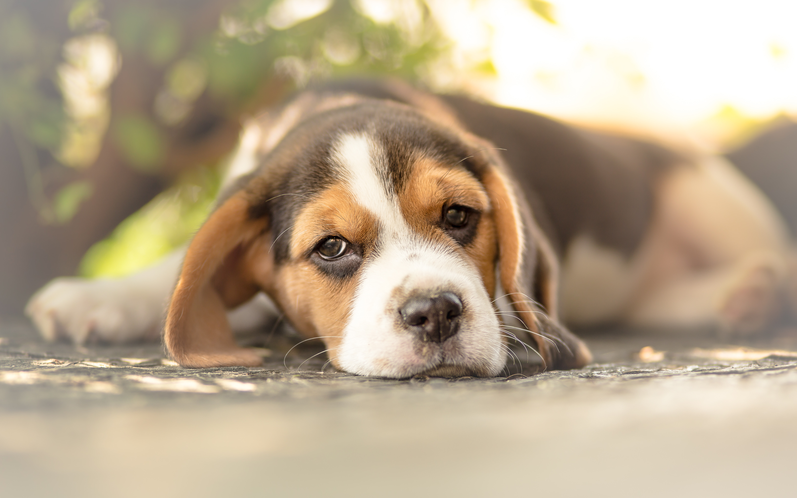 recherche chiot beagle