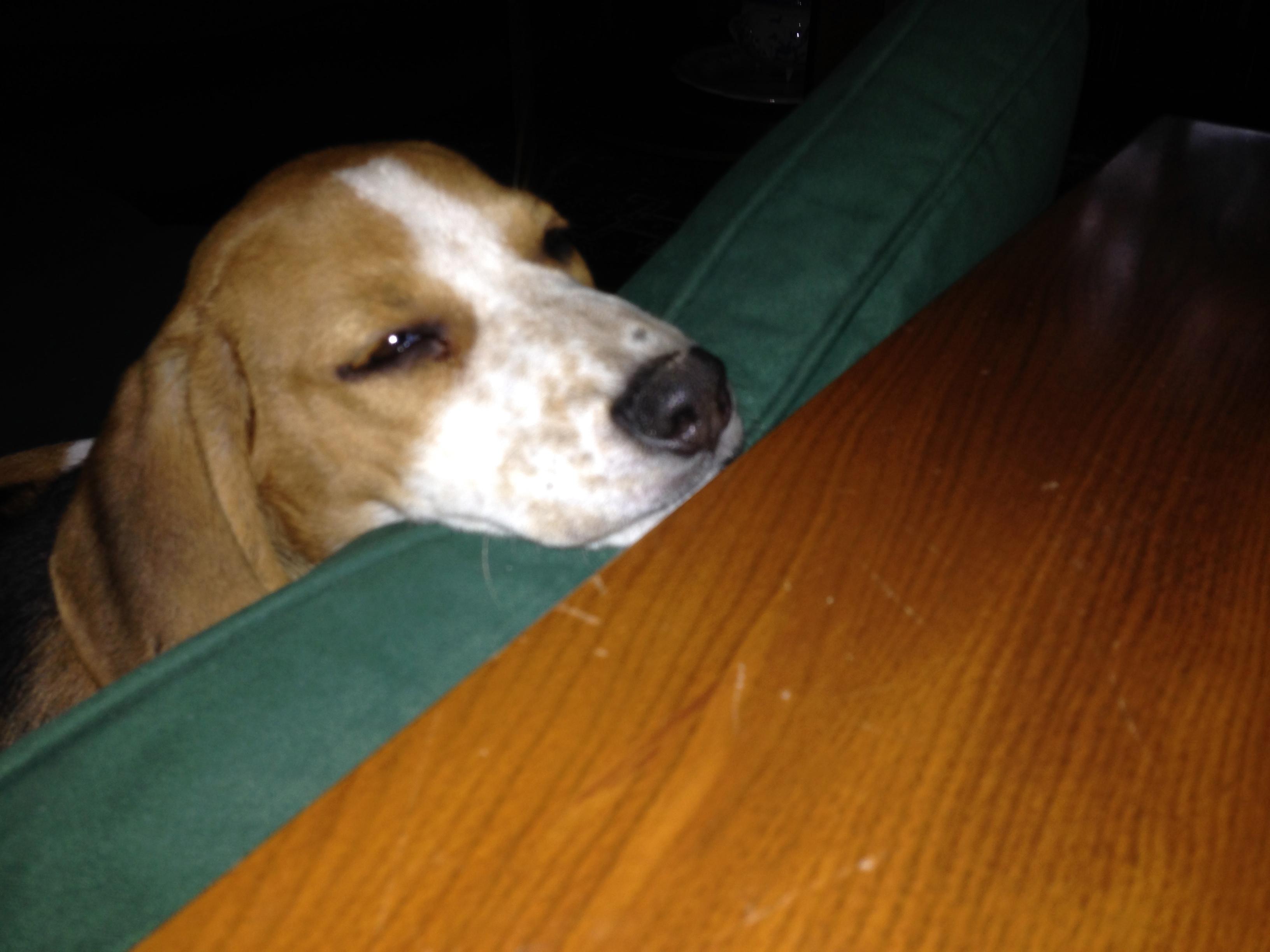 beagle Languedoc-Roussillon