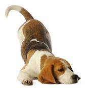 caractère du beagle
