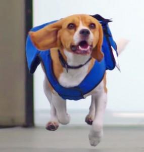 le beagle de KLM