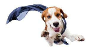 beagle qui s'enfuit