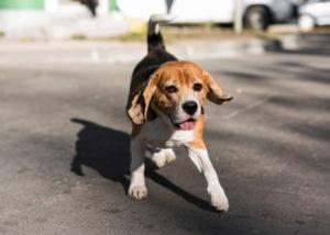 pourquoi mon beagle fugue ?