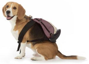 beagle fugueur
