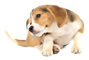 beagle qui se gratte