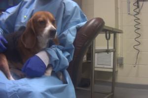 Harvey beagle laboratoire américain