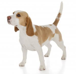 photo d'un beagle lemon adulte