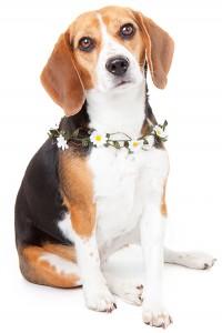 beagle vedette