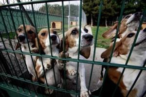 beagle sauvés