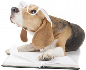 beagle bigleux