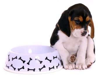 beagle qui boude sa gamelle