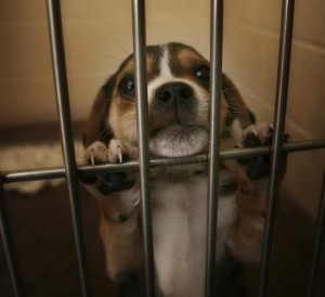 chiot beagle laboratoire